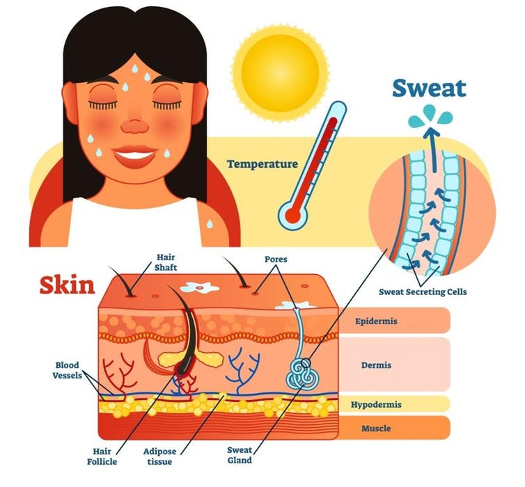 Graphic showing how the body loses excess heat via evaporation.