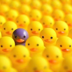 One purple ducks amongst hundreds of yellow